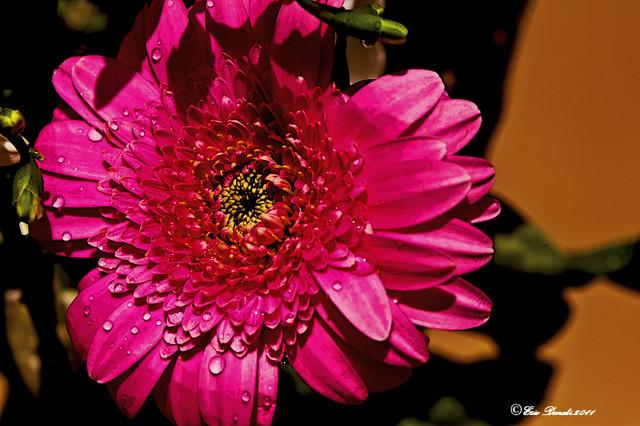 GOCCE SUL FIORE     -----     DROPS ON THE FLOWER