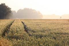 Korenveld met horizon - by Patrick Goossens