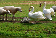 The Rumble* (heinvanwersch) Tags: nature animal swan sheep hein kartpostal photographyrocks fantasticnature estremit naturethroughthelens superstarthebest heinvanwersch