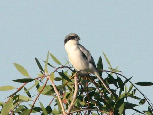 Loggerhead Shrike 20090111