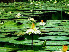 damai yang hilang....(freedom that gone) (SuzailanJai) Tags: nature lotus explore malaysia kualalumpur teratai tamantasikperdana suzailan
