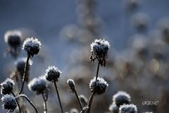 Monday Blues (♥ B i b b i ♥) Tags: flowers blue winter canon vinter flora frost sweden bokeh sverige withered blommor 2008 allotmentgarden hmb 30d blå hässelby canon30d mondayblues sigma70300mmf456apodgmacro koloniträdgård hässelbyslottskoloniträdgård thehässelbycastleallotmentgarden vissnade