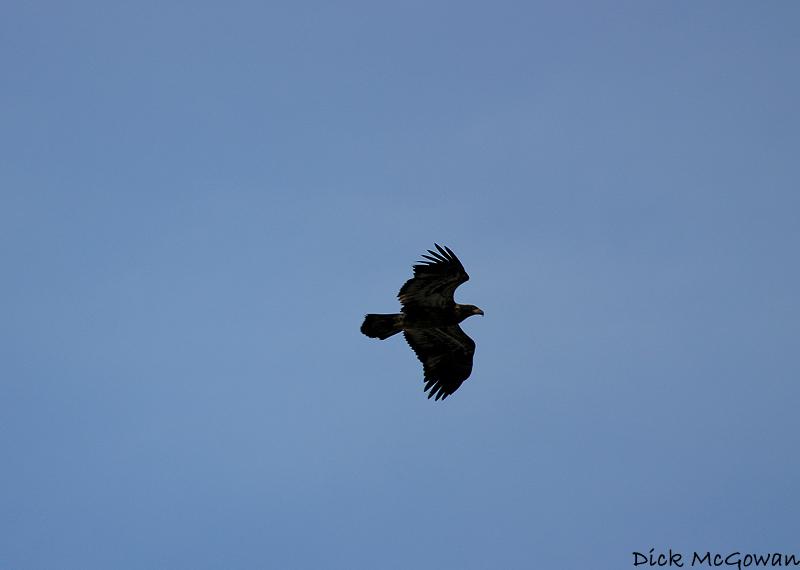 Bald Eagle ?