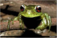 rã-flautinha (Fábio Maffei ©) (Fábio.Maffei) Tags: wild brazil nature brasil fauna wildlife natureza conservation amphibian frog toad sapo amphibians perereca fábio rã anura anfíbio maffei conservação anuro fábiomaffei aplastodiscus perviridis