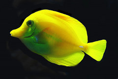 Yellow Fish (scorpion 13 /) Tags: friends sea fish black nature yellow coral sealife riff supershot bej mywinners abigfave anawesomeshot diamondclassphotographer theunforgettablepictures overtheexcellence theperfectphotographer gr8photo alittlebeauty goldstarawardmorg