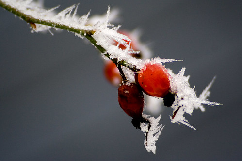 Frosen frosted berries
