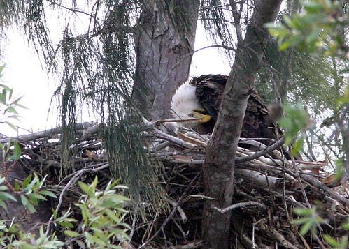 Eaglet 20090206