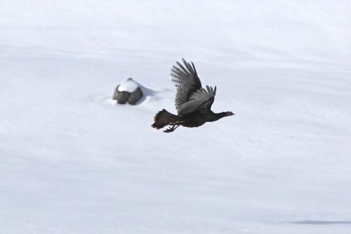 Flying Turkeys - 06 by you.