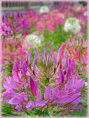 Language of L-O-V-E (Thai Jasmine (Smile..smile...Smile..)) Tags: pink flower love smile thailand sweet bangkok richman poorman blindman happinesee youngkid deafman languageoflove whatloveis whatitmeans theroyalchitralada whatitsounds