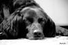 So tired (Luca Morlok) Tags: blackandwhite bw dog animal cane occhi tired vasco animali occhioni biancoenero muso espressione stanco