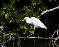 imm Little Blue Heron_0882 (Feather fetish) Tags: heron birds littleblueheron dingdarlingnwr immaturelitleblueheron