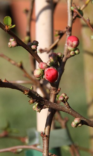 Japonica Buds