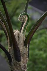 Fiddlehead (batumtum) Tags: philippines fiddlehead ferntree albay
