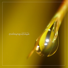 golden.. (MalaYneuMaya) Tags: camera abstract macro nature water leaves closeup photography photo leaf waterdrop dof bokeh fresh depthoffield drip malaysia droplet pointandshoot abstracts waterdrops makro boke mothernature freshness macrophotography hujan pointnshoot pns theunforgettablepictures thecoolshotsfire