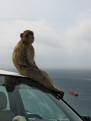 Barbary Macaque - Relax! (Vlastula) Tags: sea water car animal fauna relax monkey europe ship gib taxi vessel ape gibraltar apes macaque barbary straitofgibraltar macacasylvanus upperrock