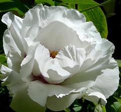 Paeonia suffruticosa #3