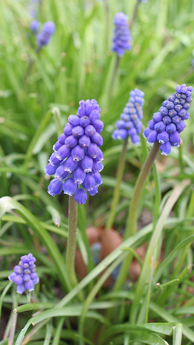 Grape hyacinth - Muscari botryoidesi