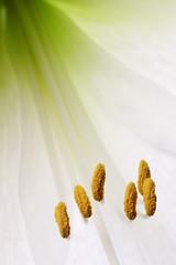 Amaryllis stamen (tom.wright) Tags: white plant flower macro green yellow diagonal petal stamen amaryllis translucent backlit pollen tomwright canonefs60mmf28macrousm flickrelite copyright2009