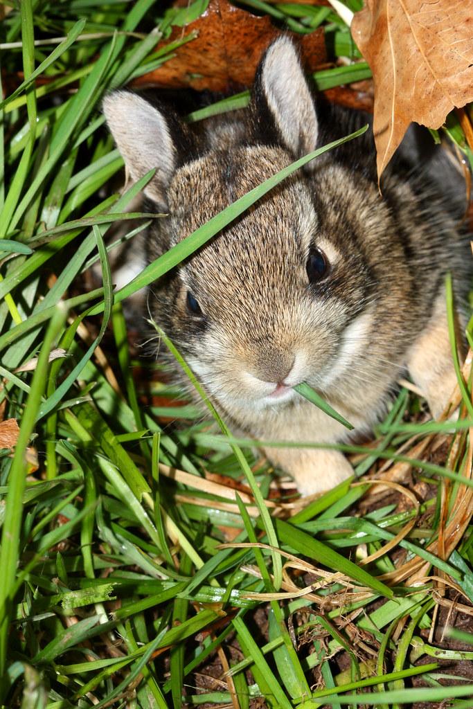 """Baby Wabbit To Grass: """"Nom Nom Nom"""""""