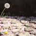 墓石脇のタンポポ