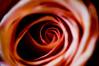 To Lay My Head Tonight (Thomas Hawk) Tags: california usa flower rose america berkeley unitedstates 10 unitedstatesofamerica wholefoods eastbay fav10 gettyartistpicksoct09