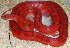 "Kornnatter Bloodred ""Venus"" (T Seider) Tags: red rot corn venus reptile snake terri terra terrarium diffused elaphe guttata kornnatter schlange reptil cornsnake korni guttatus bloodred pantherophis"