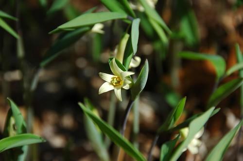 Uvularia sessilifolia, Wild Oats