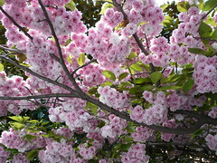 Sakura - Cherry blossoms - Fiori di ciliegio (SissiPrincess) Tags: pink flowers light sky sun white tree verde green primavera leaves foglie spring branches rosa cielo sakura cherryblossoms fiori sole 1001nights albero bianco luce cherrytree wmp rami ciliegio blueribbonwinner supershot mywinners fioridiciliegio theunforgettablepictures naturewatcher theperfectphotographer goldstaraward natureselegantshots awesomeblossoms 100commentgroup flickraward