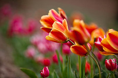 Tulip's Dancing with the Wind (Ali Majdfar) Tags: flower spring iran tulips vivid tulip    mahallat   markazi  mahalat  gettyimagesmiddleeast