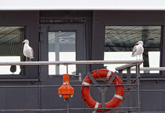 Shipmates (Lin') Tags: netherlands ferry boot wadden ship may nederland mei 2009 texel noordholland veerboot herringgull zilvermeeuw waddenislands thorntje