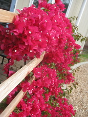 149_365 (at_for_all) Tags: ca pink vibrant vine bougainvillea hillsborough 149 149365