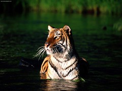 Taking a Dip Bengal Tiger