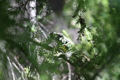 Desconfiado (Carlos Urioste) Tags: naturaleza lagarto