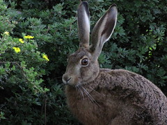 hare wildlife in secure corner |  Wildhase in Sicherheit - ISO Speed: 800 (eagle1effi) Tags: wild macro animal animals fauna canon germany iso800 tiere lowlight hare wildlife fav20 powershot sx1 enchanted hase tier allinone tbingen damncool osterhase nolimits blueribbonwinner fav10 modine canonmacro views500 10faves views100 views200 views300 bridgecamera wildtier abigfave mmmelmann anawesomeshot magerwiese wildhase eagle1effi betterthangood naturemasterclass aulandschaft neckaraue naturescreations canonsx1is canonpowershotsx1is sx1isbest canonsx1referenceshot canonsx1ispowershot canonpowershotsx1isreferenceshot beautifulcityoftbingengermany ber100malgesehen