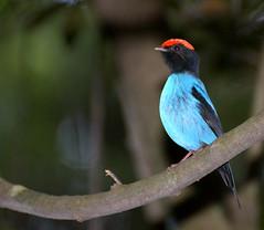 [フリー画像] [動物写真] [鳥類] [野鳥] [エンビセアオマイコドリ] [青い鳥]      [フリー素材]
