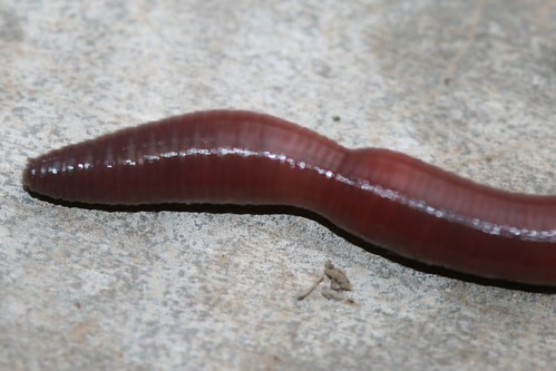 class clitellata See below for details ----- ## leech ## tolerance level - 10 (phylum: annelida, class: clitellata, subclass: hirudinea) sucker, expands and contracts, segmented body.
