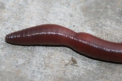 Earthworm (Family: Megascolecidae)