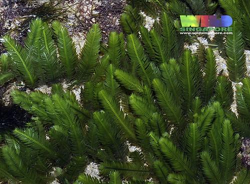 Narrow feathery green seaweed (Caulerpa taxifolia)