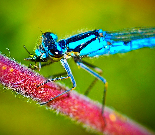 """Blue Dragonfly ; Azure Hawker ?"" by tibchris"