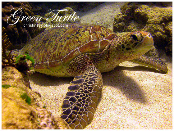 Cairns: Green Turtle