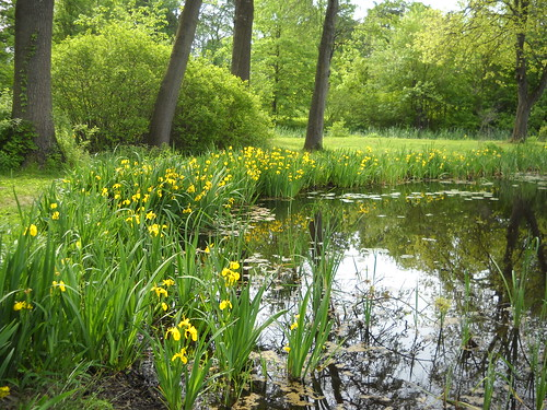 yellow iris-lined pond