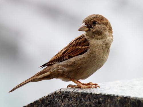 [フリー画像] 動物, 鳥類, ハタオリドリ科, 雀・スズメ, 201005291700