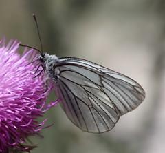 Black-veined White butterfly (Aporia crataegi) (iainrmacaulay) Tags: white black france veined aporia crataegi