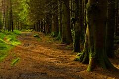 Forest above Crafnant