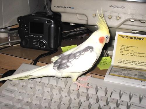 asleep at computer. koji asleep at the computer. My cockatiel Koji fell asleep on my keyboard.