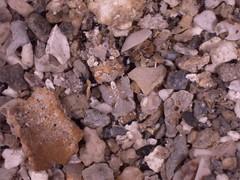 Philocheras sp (Crangonidae), Moorea by Arthur Anker