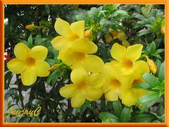 Allamanda cathartica var. Schottii (Yellow Allamanda, Dwarf Golden Trumpet, Bush Allamanda) in our neighbourhood