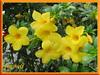 Allamanda cathartica var. Schottii (Yellow Allamanda, Dwarf Golden Trumpet, Bush Allamanda)