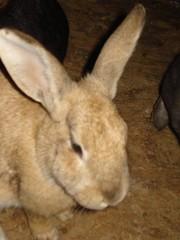 CONEJO # 202 (Gioser_Chivas) Tags: animal conejo mascota mamifero gioser