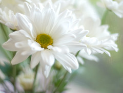 Yes, another daisy pic (simply colleen) Tags: white flower green leaves nikon soft dof bright bokeh naturallight mum stems daisy chrysanthemum 50mmf18 d80 hggt gorgeousgreenthursday
